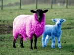 Pink And Blue Sheep