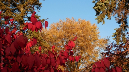 Autumn's Primary Colors III - red, 1eaves, scarlet, golden ye1low, trees, leaf, bush, Fa11, shrub, blue sky, Autumn
