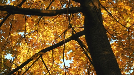 A Golden Leafed Tree Hug : ) - trees, leaf, tree, leaves, limbs, Fa11, Norway maple, leafed, golden yellow, branches, Autumn