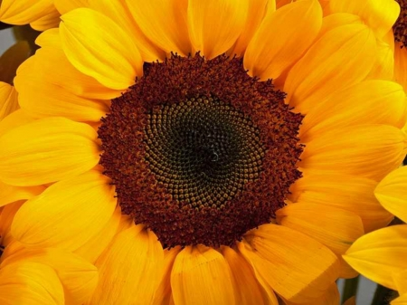SUNFLOWERS - STAMEN, PETALS, COLORS, NATURE