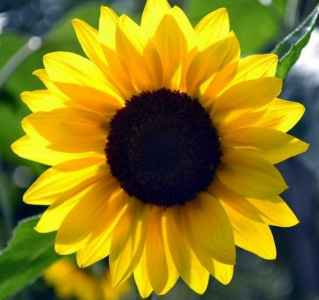 SUNFLOWER - PETALS, LEAVES, COLORS, NATURE