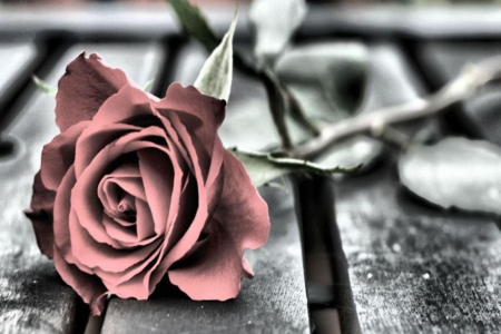 One rose - Rose, Red, Flower, Black, One
