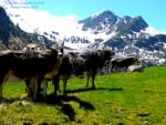 Cows at Stubai Valley, Austria