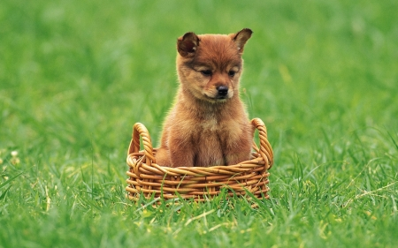 Cute Puppy - grass, basket, ground, dog, puppy, animal