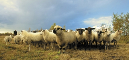 Herd of sheep - Animals, Herd, Sheep, Nature