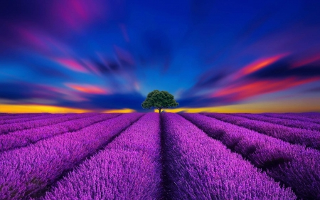 Beautiful Lavender - Lavender, Tree, Field, Blue sky, Sunset