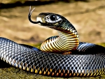 FUNKED RED BELLIED BLACK SNAKE
