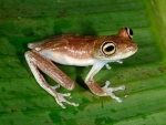 Amazon River Frogs
