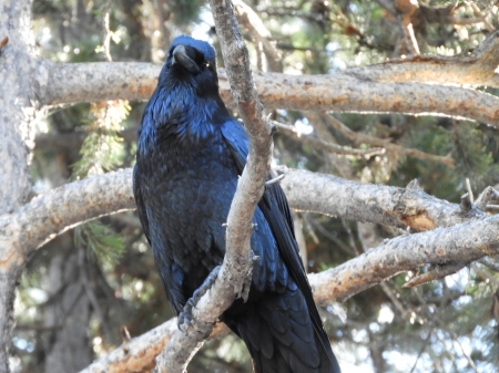 Beautiful Raven - Perched, looking at you, Woodland beauty, snap it