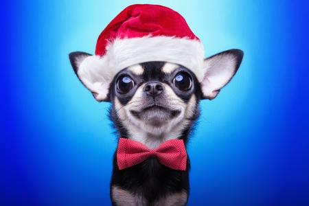 Christmas puppy - red, chihuahua, craciun, christmas, caine, bow, animal, cute, santa, white, dog, puppy, blue