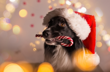 Comments on Christmas dog - Dogs Wallpaper ID 2329025 - Desktop ...