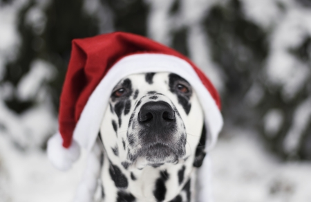 Chrismtas dog - red, craciun, christmas, caine, black, animal, hat, spot, santa, white, dalmatian, puppy, dog