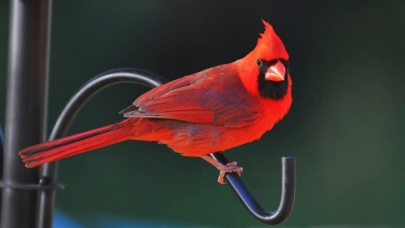 cardinal - birds, beauty, red, cardinal