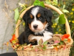 Puppy On Basket