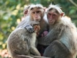 Family of Macaques