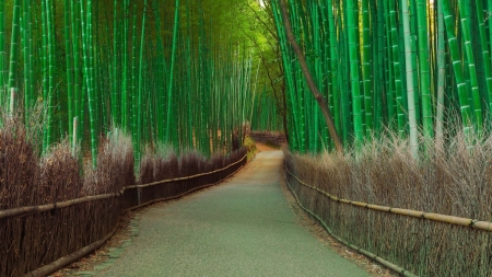 Bamboo forest - forest, tree, Bamboo, Nature