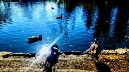 Canadian Geese in an Autumn Pond - Nature, Geese, Autumn, Ponds, Lakes, Fall