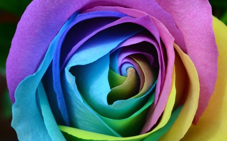 colourful rose - rose, petal, flower, colour