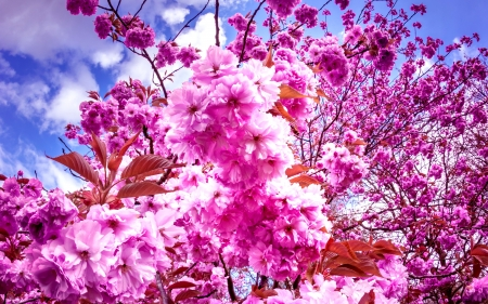 SAKURA CHERRY BLOOMING - flowers, petals, nature, cherry blosssoms