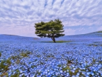 Lone Tree in Flower Field