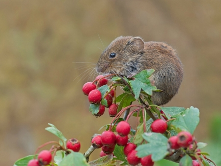 MOUSE ON BERRY BUSH