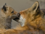 Mother and Baby Fox