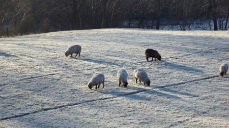 Sheep  in snow - Snow, Winter, Sheep, Nature, Animals