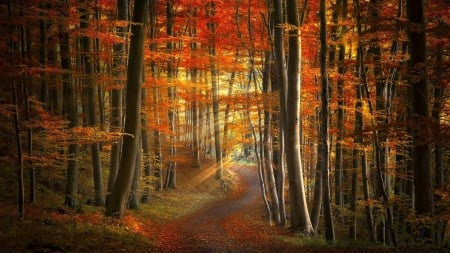 Path thru a forest - forest, pretty, autumn, warm, glow, shining, nature, trees