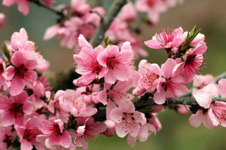Pretty blossoms - pretty, pink, blossoms, flowers, spring, nature, tree, apple