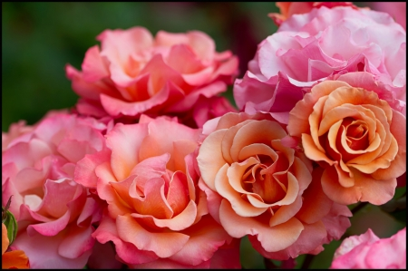 Fragrant roses - pretty, fragrant, flowers, nature, roses, pink