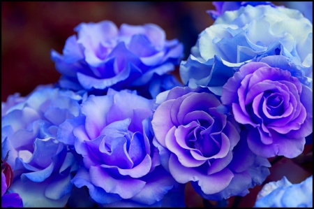Blue roses - pretty, flowers, nature, beautiful, roses, blue