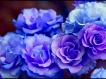 Beutiful blue roses