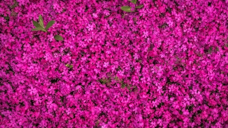 Flowers - texture, flower, summer, skin, pink