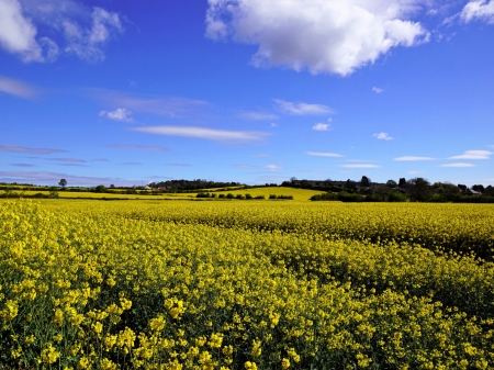 Field Under a Blue Sky - blue, sky, flowers, clouds, field, nature