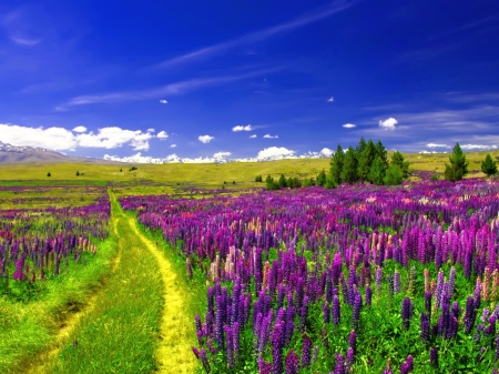 Lupine Field Under the Blue Sky - lupine, path, sky, blue, flowers, field, trees, nature