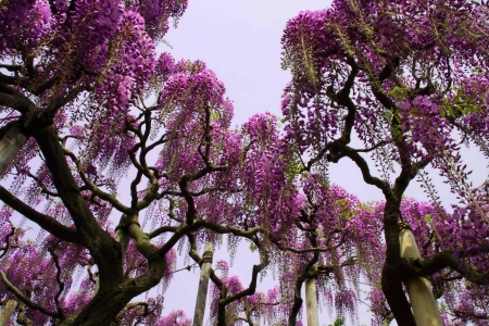 Paradise Trees - naure, amazing, tree, purple