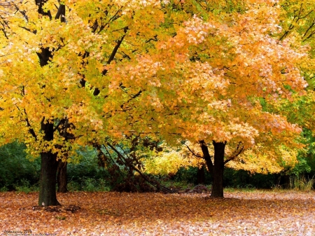 Golden Trees - forest, tree, autumn, golden