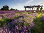 Gazebo on a Lavender Field