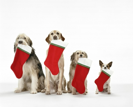 Waiting for Santa - red, craciun, christmas, socks, caine, animal, card, funny, white, dog
