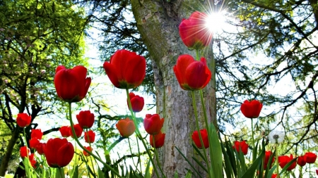 Sun Shinning on the Red Tulips