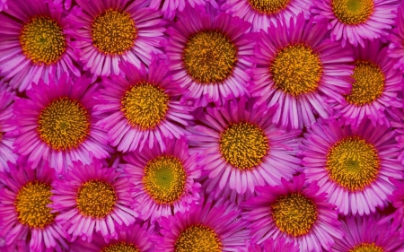 ASTER - FLOWERS, PETALS, COLORS, NATURE
