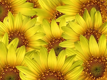 SUNFLOWERS - COLORS, NATURE, PETALS, FLOWERS