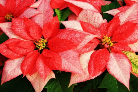 POINSETTIA - PETALS, LEAVES, COLORS, NATURE