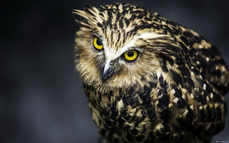 owl - owl, face, bird, animal
