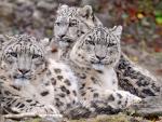 Beautiful Snow Leopard Family
