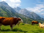 Cows in beautiful nature