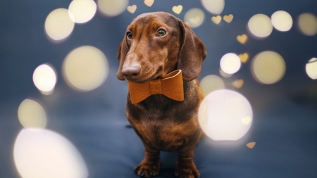 Dachshund - cute, photography, friend, animal, dog