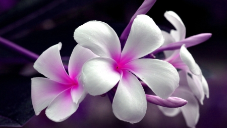 Purple and white - flower, nature, white, purple
