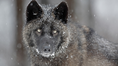 Black wolf - snow, lup, black, wolf, eyes, animal, winter
