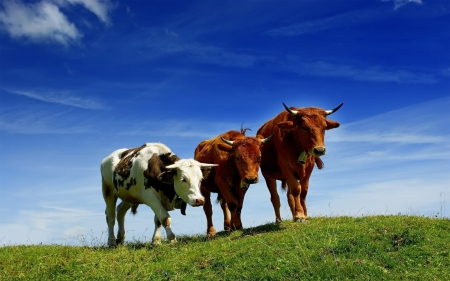 These cows - Sky, Grass, Cows, Three, Animals